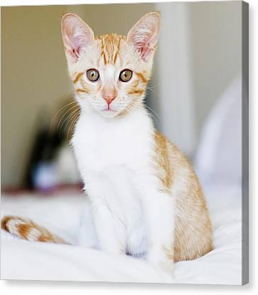 Fuji Kitten Canvas Print