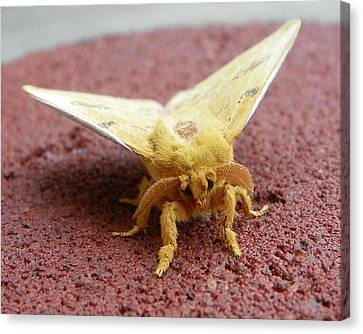 Furry Moth Canvas Print by Chad and Stacey Hall