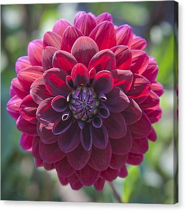 Fuschia Dahlia Canvas Print by Amber Cash