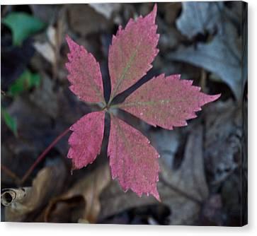Fushia Leaf Canvas Print by Douglas Barnett