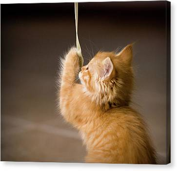 Fuzzy Baby Kitten Playing And Pulling On A Cord Canvas Print by Carl M Christensen in Minnesota