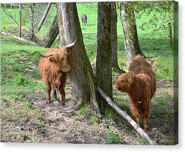 Fuzzy Cows Canvas Print by Bob Jackson