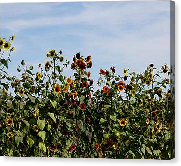 Canvas Print featuring the photograph Gaillardia On Parade by Penny Hunt