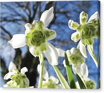 Galanthus Nivalis 'flore Pleno' Canvas Print