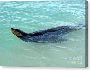 Galapagos Sea Lion Swimming Canvas Print by Sami Sarkis