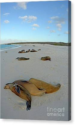 Galapagos Sea Lions Sleeping On Beach Canvas Print by Sami Sarkis