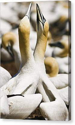 Gannets, Parc National De Canvas Print by Yves Marcoux