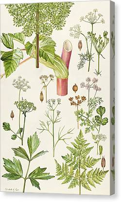 Garden Angelica And Other Plants  Canvas Print by Elizabeth Rice