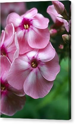 Garden Phlox Flowers (phlox Paniculata) Canvas Print