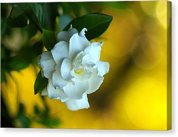 Canvas Print featuring the photograph Gardenia by Brian Wright