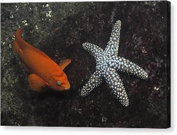 Garibaldi With Starfish Underwater Canvas Print by Flip Nicklin