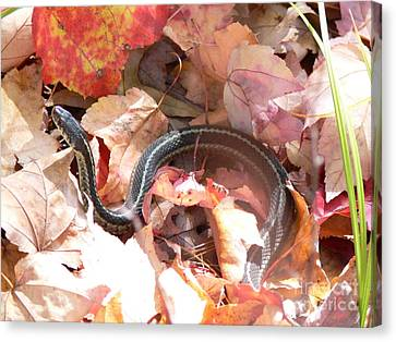 Garter Snake Canvas Print by Kevin Fortier