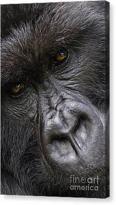 Canvas Print featuring the photograph Garunda The Gorilla - Rwanda by Craig Lovell