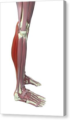 Gastrocnemius And Soleus Muscle Canvas Print by MedicalRF.com