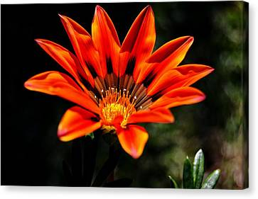 Canvas Print featuring the photograph Gazania Krebsiana Flower by Werner Lehmann