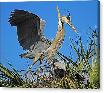 Canvas Print featuring the photograph Great Blue Heron Courtship Display by Larry Nieland