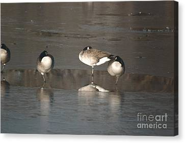 Canvas Print featuring the photograph Geese On One Leg by Mark McReynolds
