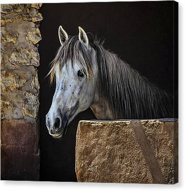 Horse Stable Canvas Print - Gentle Beauty In Morocco by Marion McCristall