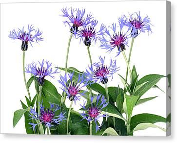 Canvas Print featuring the photograph Gentle Blue Cornflowers by Aleksandr Volkov