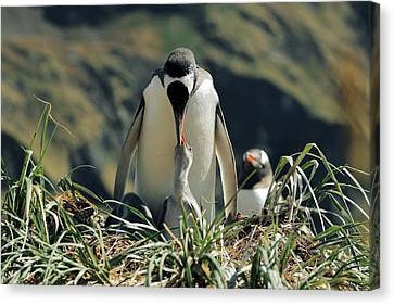 Gentoo Penguin Feeding Chick Canvas Print by Charlotte Main