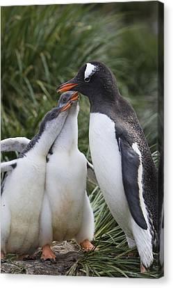 Gentoo Penguin Parent And Two Chicks Canvas Print by Suzi Eszterhas