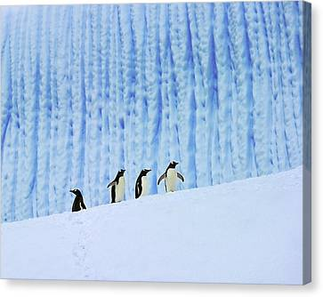 Gentoos On Ice Canvas Print by Tony Beck