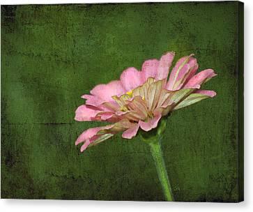 Canvas Print featuring the photograph Gerber Daisy by Sami Martin