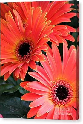 Gerbera Bliss Canvas Print by Rory Sagner