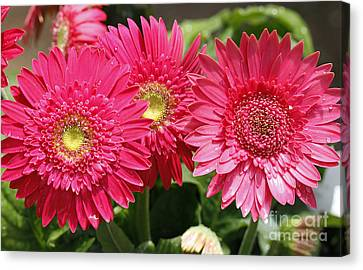 Gerbera Daisies Canvas Print by Denise Pohl