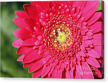 Gerbera Daisy Canvas Print by Denise Pohl