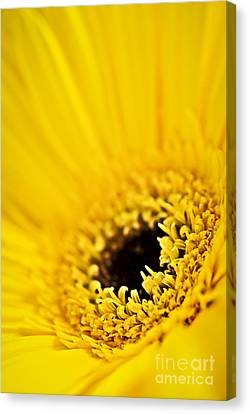 Gerbera Flower Canvas Print