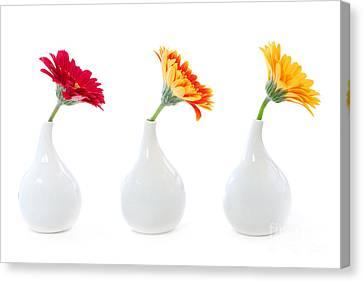 Gerbera Flowers In Vases Canvas Print by Elena Elisseeva