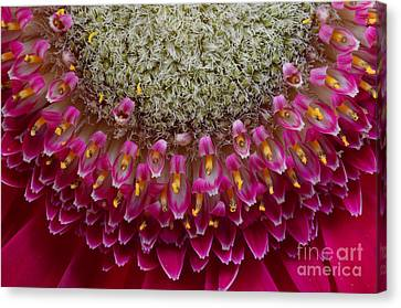 Gerbera Macro Canvas Print by Jim and Emily Bush