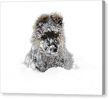 German Shepherd In The Snow Canvas Print by Gualtiero Boffi