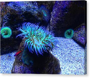 Giant Green Sea Anemone Canvas Print by Mariola Bitner