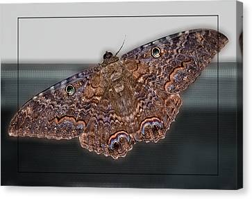 Canvas Print featuring the photograph Giant Moth by DigiArt Diaries by Vicky B Fuller