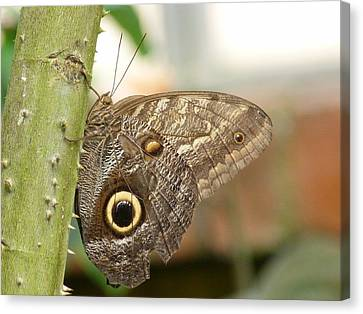 Canvas Print featuring the photograph Giant Owl Butterfly by Lynn Bolt