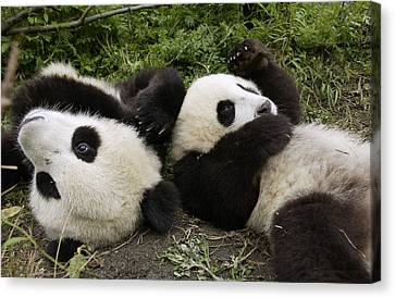 Giant Panda Ailuropoda Melanoleuca Pair Canvas Print by Katherine Feng