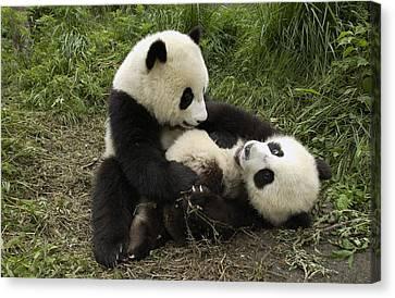 Giant Panda Ailuropoda Melanoleuca Two Canvas Print by Katherine Feng