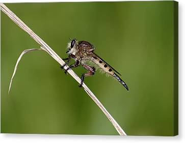 Canvas Print featuring the photograph Giant Robber Fly - Promachus Hinei by Daniel Reed