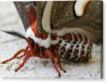 Giant Silkworm Moth 049 Canvas Print by Mark J Seefeldt