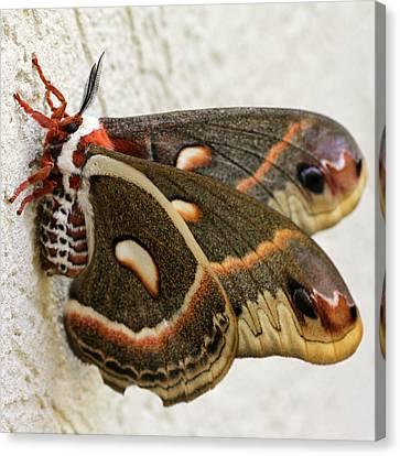 Giant Silkworm Moth 063 Canvas Print by Mark J Seefeldt