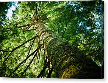 Giant Spruce Tree Canopy Canvas Print by Christopher Kimmel