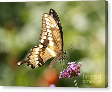 Giant Swallowtail Butterfly Canvas Print by Robert E Alter Reflections of Infinity