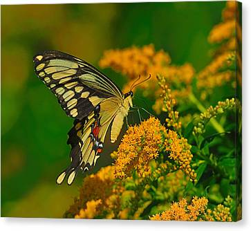 Giant Swallowtail On Goldenrod Canvas Print by Tony Beck
