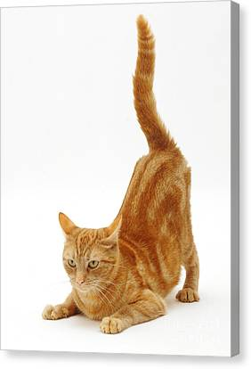 Ginger Cat Canvas Print by Jane Burton