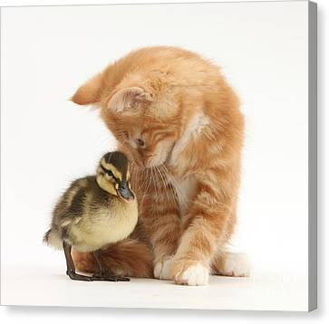 Ginger Kitten And Mallard Duckling Canvas Print by Mark Taylor