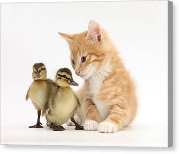 Ginger Kitten And Mallard Ducklings Canvas Print