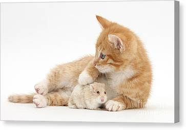 Ginger Kitten And Russian Hamster Canvas Print