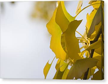 Canvas Print featuring the photograph Ginko 1 by Lisa Missenda